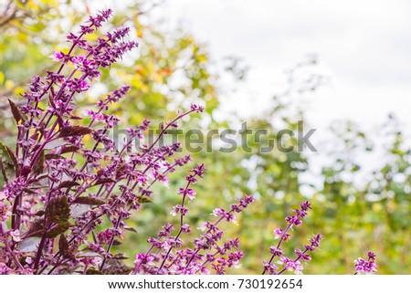 Purple basilic in the garden. Ocimum basiliicum #730192654