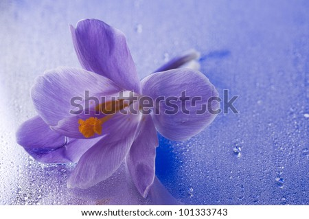 Purple beautiful  spring flower of crocus over blue wet mirror background