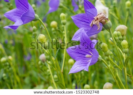 Purple bellflower blooms in full bloom and white buds will soon bloom. #1523302748