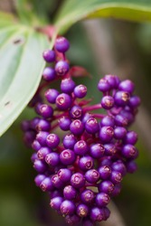 Purple berry bunch