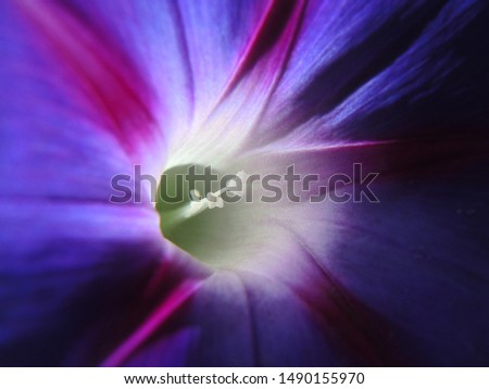 Purple bindweed flower, brightly lit by the sun. Close-up #1490155970