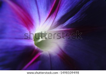 Purple bindweed flower, brightly lit by the sun. Close-up #1498109498