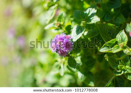 Purple blooming flower of Ageratum garden in the park with sunlight, goat weed, billygoat-weed, chick weed #1012778008