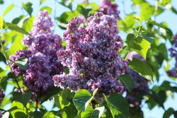 purple blooming varietal double lilac with green leaves in spring garden