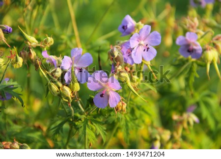 purple blooms of meadow crane´s bill (Geranium pratense)  #1493471204