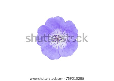 Purple blue geranium flower isolated on white background, Clipping path