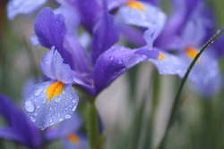Purple-blue Siberian Iris in natural light with shallow depth of field