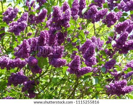 Purple Buddleia Tree
