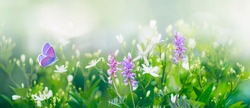 Purple butterfly flies over small wild white flowers in grass in rays of sunlight. Spring summer fresh artistic image of beauty morning nature. Selective soft focus.