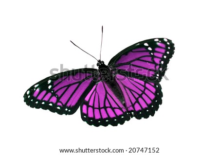 stock photo Purple Butterfly on White Background
