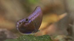 Purple butterfly, Searce cateye.