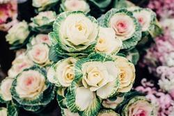Purple cabbage or brassica oleracea. Natural ornamental vegetable. Vegetal background