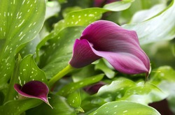 purple calla lily with many leaves as floral background