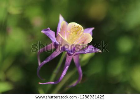 Purple Canada columbine flower (Aquilegia canadensis). Wild canadian columbine. Close up.