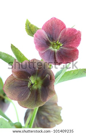 Purple christmas rose (Helleborus niger), close-up