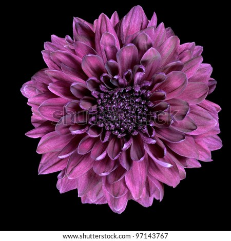 Purple Chrysanthemum Flower Isolated on Black Background