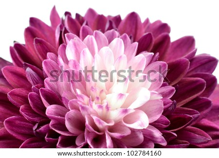 Purple Chrysanthemum Flower with White Center Isolated on White Background