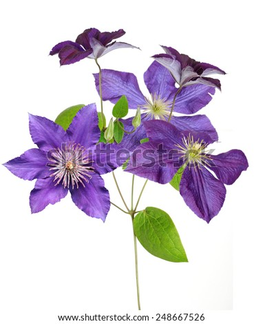 purple clematis branch isolated on white background