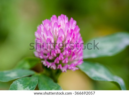 Purple clover flower with green leaves ez canvas purple clover flower with green leaves mightylinksfo