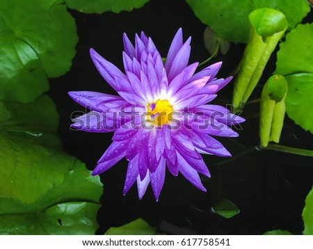 Purple color blooming water lily or lotus flower in pond ez canvas purple color blooming water lily or lotus flower in pond mightylinksfo