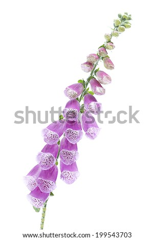 Purple Colored Foxglove Flower Isolated on White Background.(Studio Shot )