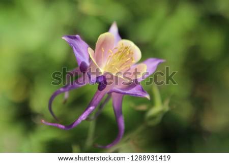 Purple columbine (Aquilegia canadensis). Wild columbine. Close up.
