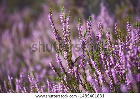 Purple common heather (Calluna vulgaris)  #1485401831