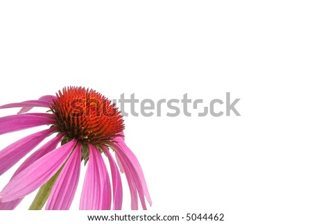 Purple cone flower, also known as echinacea.