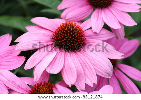 Purple cone-flower (Echinacea purpurea) abstract background
