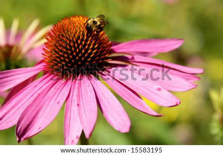Purple cone flower with bumble bee on it