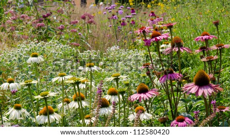 Purple cone flowers in prairie garden (Echinacea purpurea)