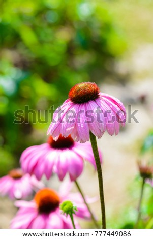 Purple coneflower (Echinacea purpurea) a popular plant for attracting the honey bee in Royal Agricultural Station Angkhang Chaing Mai, Thailand