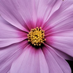 purple cosmea flower close-up, the middle of the flower in a square frame
