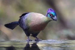 Purple-crested Turaco drinking at a waterhole