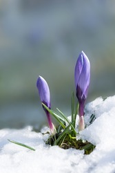 purple crocus buds break through the snow cover at spring awakening. Soft background with copy space