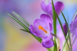 Purple crocus flower, early Spring