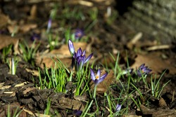 purple crocus flowers flourishing in the greens