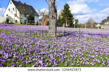 Purple crocus flowers meadow scene. Crocus meadow flowers. Purple crocus flowers. Purple crocus flower meadow - Shutterstock ID 1246425871