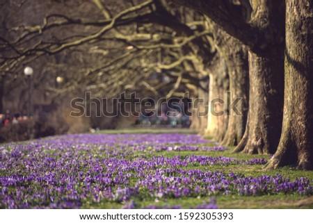 Purple crocus flowers meadow scene. Crocus meadow flowers. Purple crocus flowers. Purple crocus flower meadow. Avenue of plane tree. Jasne Blonia Square in Szczecin Zdjęcia stock ©