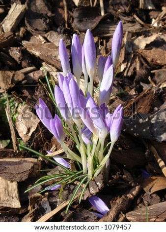 Purple Crocus with bark chippings