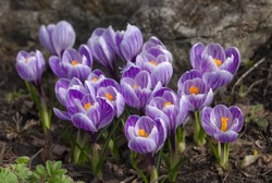 purple crocuses in spring day, top view