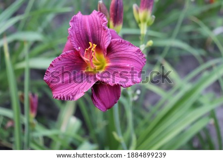 Purple D'oro.Luxury flower daylily in the garden close-up. The daylily is a flowering plant in the genus Hemerocallis. Edible flower.                    Foto stock ©