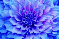 purple Dahlia flower and beautiful petals