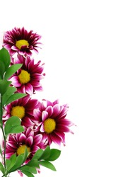 Purple Dahlia flower with yellow Center and white leaf edges Isolated on White Background