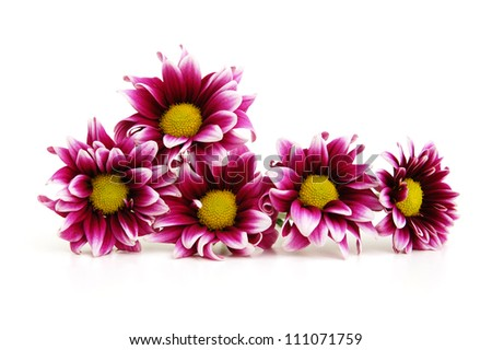 Free photos purple dahlia flowers with yellow center and white leaf purple dahlia flower with yellow center and white leaf edges isolated on white background 111071759 mightylinksfo