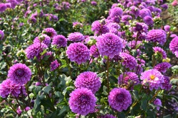 purple dahlia flowers in a dahlia field
