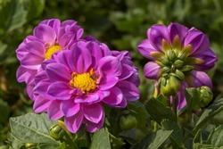 Purple dahlia flowers in the garden