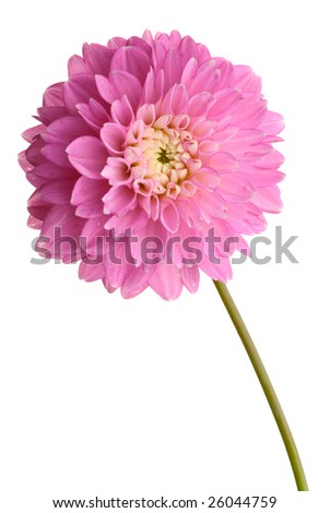 Purple dahlia isolated on white background
