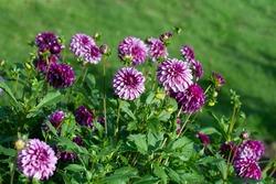 Purple Dahlia variety Hugs 'n Kisses flowering in a garden.