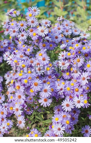 Purple daisies growing with flying bees and selective focus - stock photo